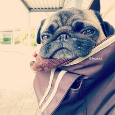 Pug, travel-adapted for your convenience