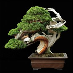 Sargent Juniper (Juniperus chinensis var. sargentii) Poetic name: Odori Size: 27 in. (69 cm) tall Estimated age: 250 years Collection: Masahiko Kimura, Saitama City, Japan Image from Fine Bonsai, published by Abbeville Press