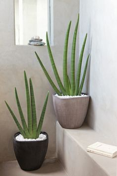 sansevieria with white pebbles