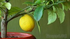 О правилах ухода и проблемах при выращивании комнатного лимона