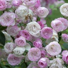 Rosa Mozart's Lady