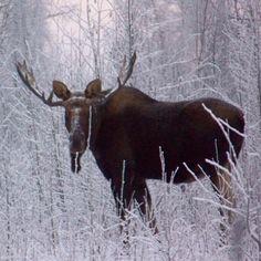 ~ Alaskan Moose, Moose Pictures, Moose Hunting, Wild Nature, Elk, Animal Kingdom, Dog Cat, Moose Art, Wildlife