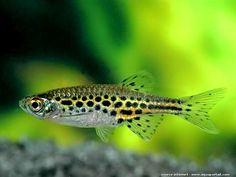 Danio Tinwini...not big on danios in general but this guy is cute+++
