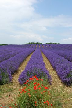Violet Lavender Field with a little bite of red Poppy Flower .