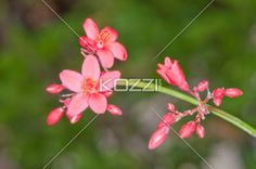 Dark Pink Five Petal Flower - Dark pink flower with five small petals and neon yellow centers blooming with dark pink buds.