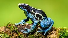 The Best Pet Frogs For Beginners Dwarf Frogs, Pet Frogs, Unusual Animals, Unusual Pets, Poison Dart Frogs, Ceramic Animals, Frog And Toad, Cute Anime Character, Nature Animals