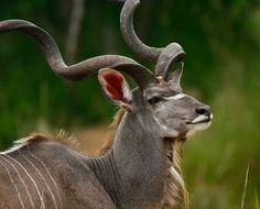 Kudu bull - Kruger National Park