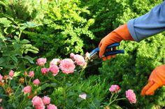 Rose Pruning Tips   Stretcher.com