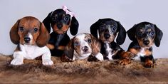 cute family of 5 dachshund puppies! Mini Dachshund, Dachshund Puppies, Weenie Dogs, Cute Puppies, Cute Dogs, Dogs And Puppies, Doggies, Maltese Dogs, Baby Animals