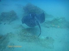 Round ribbontail ray off Ponta do Ouro, southern Mozambique Diving, Southern, African, Fish, Pets, Animals, Animaux, Animales, Scuba Diving