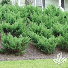 Evergreen Shrub Juniperus pfitzeriana 'Sea Green' Size: 1 Gallon Code: Exposure: Full Sun Dimensions: H x W Water: Water regularly until established Blooms: Grown for its unique foliage Fertilizer: Feed with Fertilome Tree and Shrub Food … Juniper Shrub, Small Yard Landscaping, Mulch Landscaping, Evergreen Shrubs, Trees And Shrubs, Garden Shrubs, Lawn And Garden, Plant Shed, Rock
