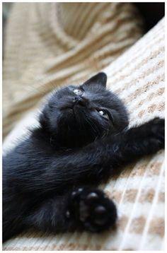Cute Kittens Black Cat Wallpaper Added on , Tagged : Black Cat Cute Kittens, at Cute Kittens Pictures Cute Cats And Kittens, Cool Cats, Kittens Cutest, I Love Cats, Pretty Cats, Beautiful Cats, Animals Beautiful, Crazy Cat Lady, Crazy Cats