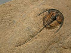 Gerospina. 39 mm. Trilobita, Ptychapariida. Cambrien moyen. Weeks Formation, Millard County, Utah, USA. (550×413)