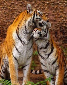 ..tigres
