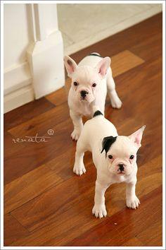 Awww-french bulldog puppies!