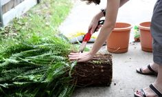 ferns in pots   Then cut the root ball with a big kitchen knife or a saw. (I use a ...