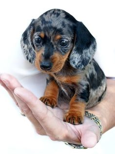 Emma-baby dachshund by ~TriggerArtist on deviantART