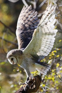 "Barn Owl ""Nina"" by Susan Liddle"