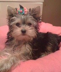 Easter 'Lily' is an adoptable Yorkshire Terrier Yorkie Dog in Taunton, MA. Meet our 'Easter' Lily. Lily is a 13 week old 2 1/2 lb female Yorkie who was surrended to Yorkies Inc due to her having issue...