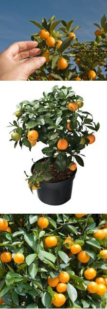 Citrus Tree Planting Directions   How to Grow a Citrus Tree   Brighter Blooms Planting Directions