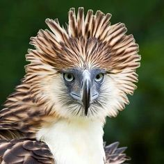 Philippine Eagle one of the largest & rarest birds with a wingspan of 6-7 ft There are less than 500 of these raptors left!