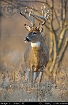 White-Tailed Deer Buck in field | Stock Photo: Picture of a Late Evening Buck White-Tailed Deer