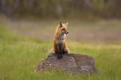 Foxy Lady !!! by Photography by Ramin  on 500px