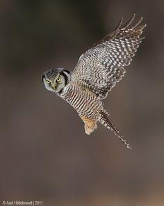 northern hawk owl. copyright Axel Hildebrandt, 2011