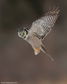 northern hawk owl. copyright Axel Hildebrandt, 2011