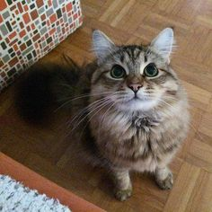I'm hungry mommy!  #siberiancat #catsofinstagram #catstagram #pawsome #catoftheday #lion #cat_features #catsofworld #excellent_cats #topcatphoto #bestmeow #meowbox #topheycat #gato #chat #cats_of_instagram #ilovemycat #cutepetclub #pets_perfection #petscorner #lovecats #instacat #catstagram #cat #katze #victorthecat #ilovetopose #iamgorgeous ------------------------------------------------------------------------- Let's connect also on Twitter:  https://twitter.com/victor_siberian