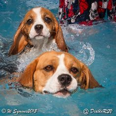 Grace the beagle puppy first swimming lesson
