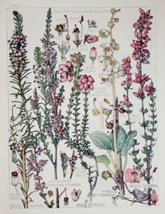 1910 Botanical Print by H. Isabel Adams Heath by PaperPopinjay, $15.00