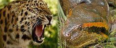Find more information about Jaguar vs Anaconda predators fight. Who Will Win, Anaconda, Wild Animals, Predator, Jaguar, Green Anaconda, Wild Ones