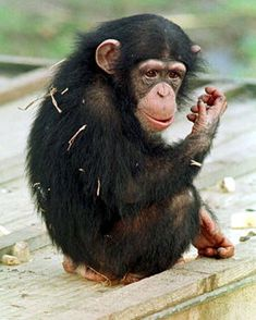 93 Best Baby Chimpanzee images in 2018 | Baby chimpanzee