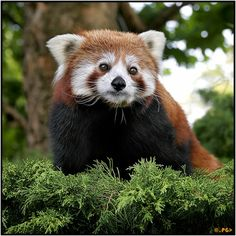 The Red Panda  The (Ailurus fulgens)is also known in some areas as the Shining Cat. Native to the Eastern Himalayas and Southwestern China. It is the sole member of it's genus Ailuirs. It's diet mainly consists of bamboo, but it is an omnivore, and eats anything the woodlands provide. It's ability to eat bamboo rests with it's strong, curved, sharp claws. A distant relative to the giant panda, there are no more than 10,000 adults left in the world, though it is protected by several…