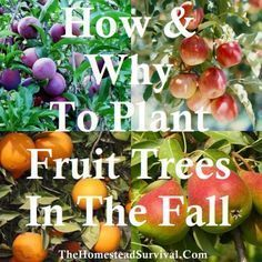 Why To Plant Fruit Trees In The Fall - Grow Your Own! How amp; Why To Plant Fruit Trees in the FallHow amp; Why To Plant Fruit Trees in the Fall Fruit Garden, Garden Trees, Edible Garden, Garden Plants, Garden Pool, Growing Fruit Trees, Growing Tree, Farm Gardens, Outdoor Gardens