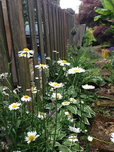 daisies! end of june
