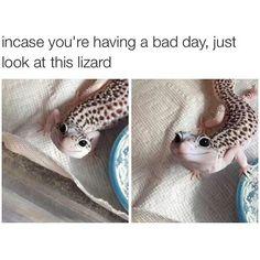 ♥ Small Pets ♥ Cute leopard gecko to raise a smile Cute Lizard, Cute Gecko, Cute Creatures, Beautiful Creatures, Animals Beautiful, Cute Reptiles, Reptiles And Amphibians, Funny Lizards, Baby Lizards