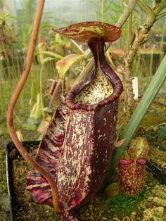 Nepenthes rafflesiana. A tropical Pitcher Plant growing in one of my Greenhouses and lurkin for prey. Nice and fast growing plant for hot houses with orchids!