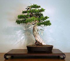Cedar of Goa - Mexican White Cedar - Cupressus lusitanica - Exotic Tre | Seeds…