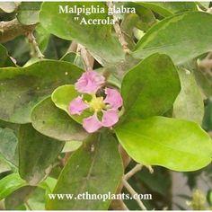 Malpighia glabra, semilla de acerola para crecer. #acerola #malpighia #flores