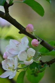 Beautiful apple*tree*flowers <3  http://anunkameralla.blogspot.fi