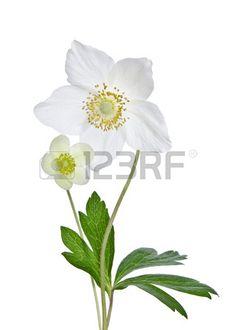 Bella anemoni bianchi fiori isolati su bianco Archivio Fotografico
