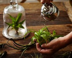 How to water your tillandsia.