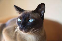 Tonkinese Cat- the friendliest cat you will ever meet!