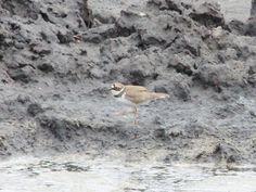 小環頸鴴 /金眶鴴  Charadrius dubius   鴴科 鴴屬    候鳥,在非洲過冬      拍攝地點:彰化縣 福興鄉 福寶濕地