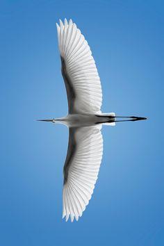 Great Egret overhead.