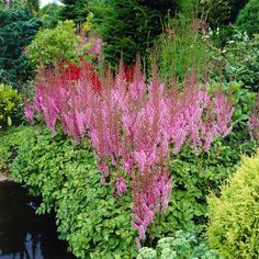 Astilbe pumila is a low growing shade groundcover Shade Perennials, Shade Plants, Shade Garden, Garden Plants, Bulbs And Seeds, Coral Bells, Garden Journal, Astilbe, Yard Landscaping