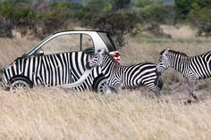 A Zebra-wrapped car among its striped friends in the wild