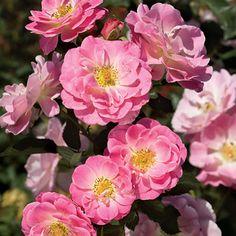 Jane Seymour Lavender-pink Floribunda Rose.  I want these so much!  Please, please, please.